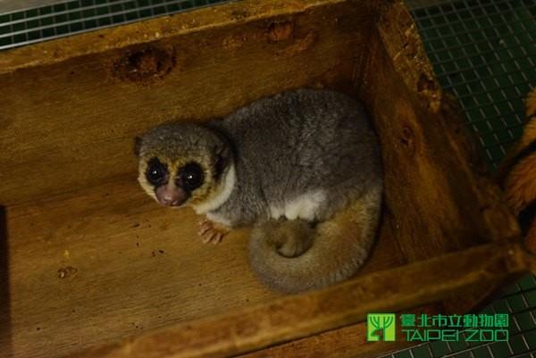 粗尾侏儒狐猴会把脂肪囤积在尾巴.(图/台北市立动物园提供)