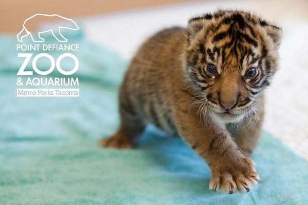蓝眼睛,小耳朵 苏门答腊虎宝宝超可爱