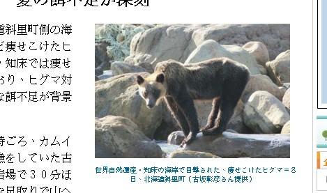 北海道知床半岛一只野生棕熊腰围消了一大圈.(图/翻拍www.47news.
