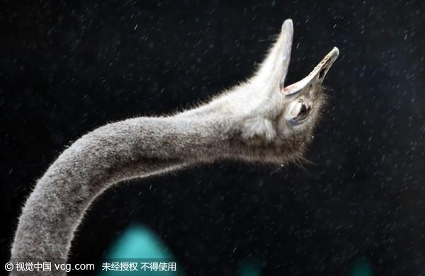 郑州动物园1月30日降瑞雪,一只鸵鸟在雪中折脖子吃雪的样子很可爱.