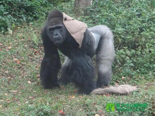 寶寶已經是隻帥氣的男子漢,卻苦尋不到老婆。(圖/台北市立動物園提供) 生活中心/綜合報導 台北市立動物園的金剛猩猩寶寶展場掛上「免展」?原來是要進行「金剛猩猩空間管理改善工程」,迎接波蘭歐普勒動物園來的新朋友迪亞哥!長年單身的寶寶討老婆前得先熟悉群體生活,因此園方參與歐洲金剛猩猩瀕危物種保育計畫,最終是希望能幫寶寶找到配偶群,以便將遺傳多樣性傳遞下去。 寶寶民國76年來到動物園時才2歲,體重只有10.