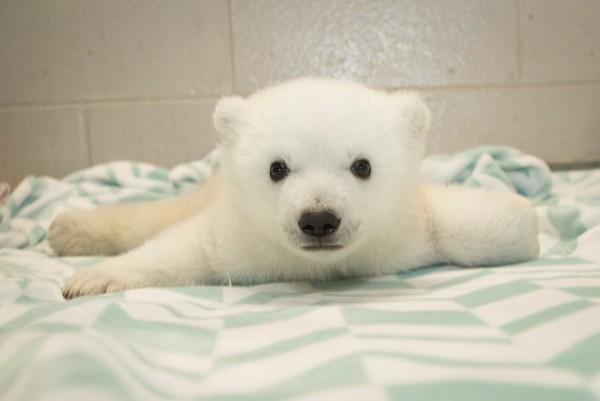 小北极熊诺拉(nora)可爱的样子萌翻所有粉丝.(图/翻摄自脸书)
