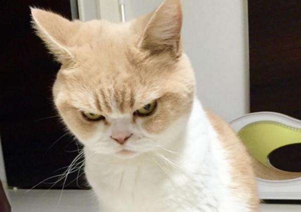 内心永远不爽1!日本「怒怒猫」吊眼又臭脸表情外表喵嗷大图片包图片
