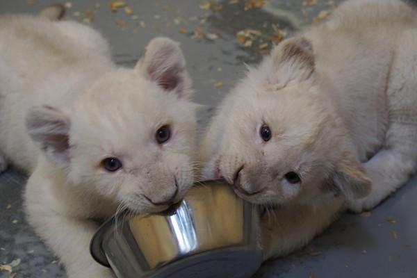 多伦多动物园「可爱警报」! 猫熊龙凤胎带头卖萌