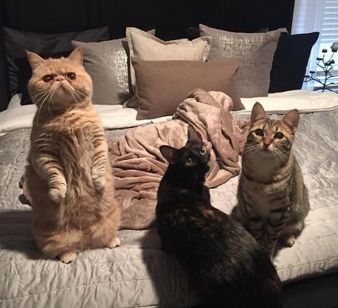 如何养猫(加菲猫、波斯猫及异短猫等)