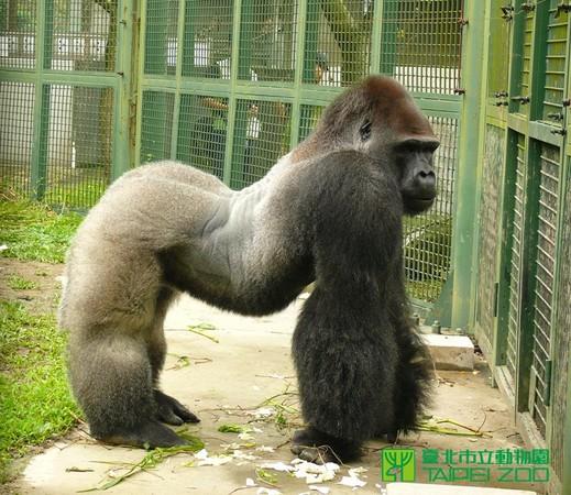 台北动物园庆儿童节 举办金刚猩猩宝宝31岁生日趴!