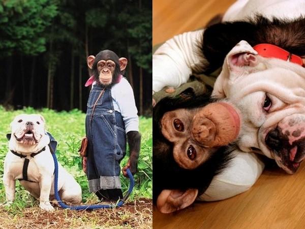 志村动物园》深受观众喜爱,其中《狗狗猩猩大冒险》单元最受欢迎,黑