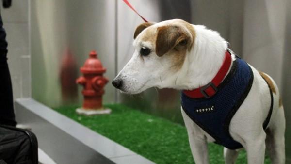 迺迪国际机场新增了「宠物厕所」,让同行的毛孩不用在飞机上憋得痛苦