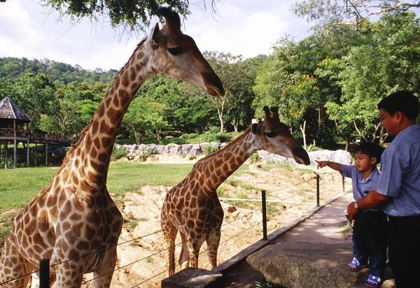 芭达雅暹逻湾散发热带风情,   动物园中长颈鹿,大象,猴子们逗趣