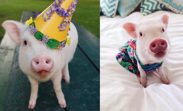 主人亲手打造 粉红猪与呆萌兔的可爱时尚造型