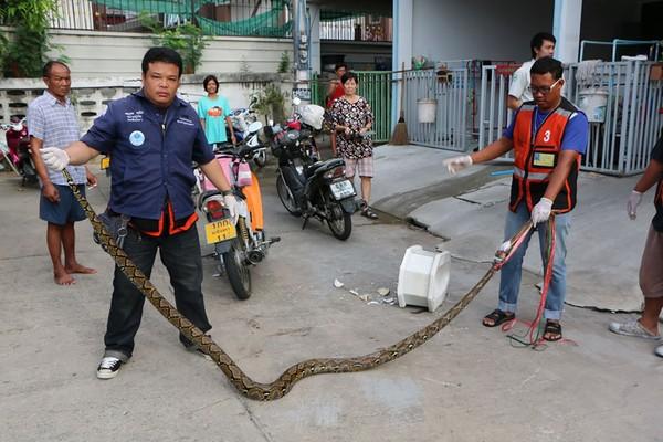 马桶窜出3.5公尺大蟒蛇咬住生殖器 泰男失血过多昏倒
