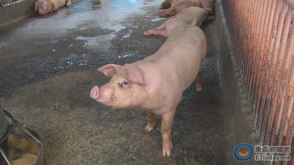 豬也吃中藥?中國農民標榜健康飼養 1隻可賣1萬4千元