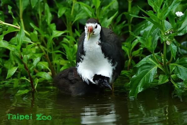 白腹秧鸡「立定跳高」抓蝴蝶 动物园护城河旁温馨育雏