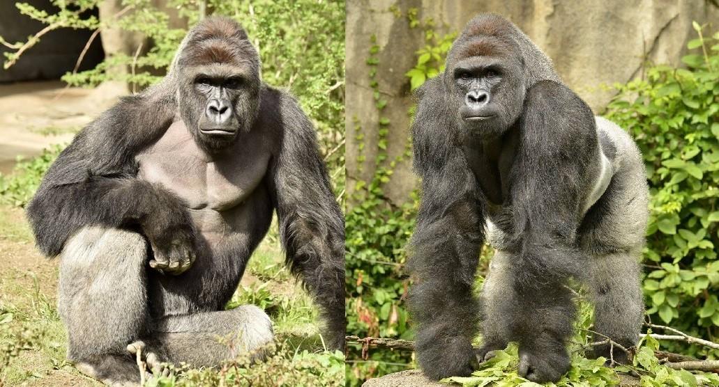 5%美国人宁投大猩猩 希拉蕊与川普的负评都过半