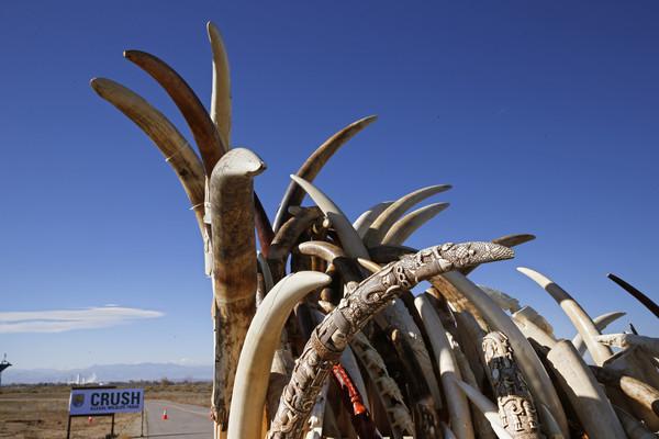 ▲坦尚尼亞盜採象牙的情況非常嚴重。(圖/達志影像/美聯社)