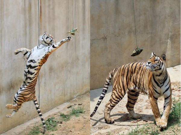 山东省烟台动物园的东北虎为了争抢粽子,使出浑身解数飞扑.