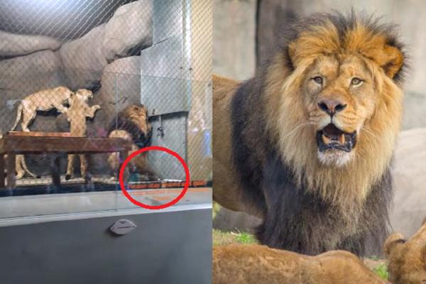 奥勒冈动物园液压门夹断雄狮尾巴 游客喊「它在流血」