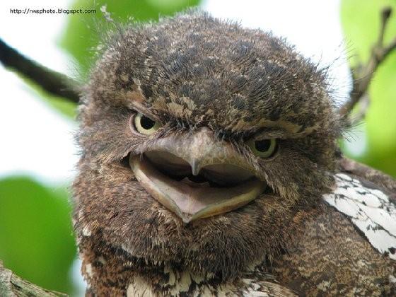 有个像青蛙嘴的鸟!大自然的最佳伪装者-丑萌蟆口鸱