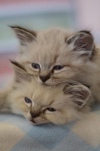 「萌猫姐弟」小时候喜欢头靠头互相依偎.(图