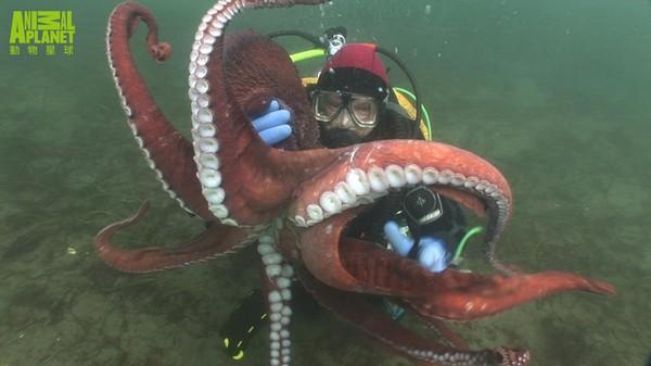 巨大章鱼.(图/动物星球频道提供,下同)