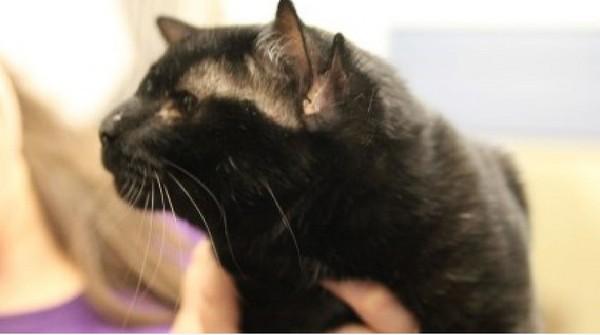 美国四耳小黑猫寻找一个家 萌萌外型神似可爱小恶魔