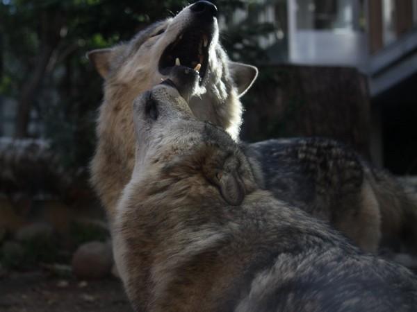 小狼可爱萌图片大全