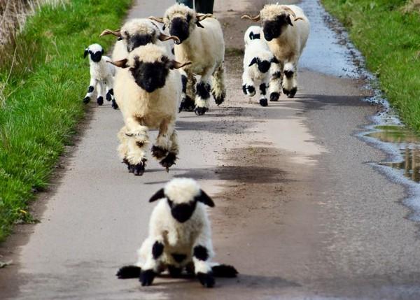 世界最可爱 黑鼻羊 黑白配 萌对比 好像 笑笑羊