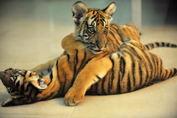 本报讯 圈养华南虎数量世界最多的南昌动物园又传来喜讯,园内新近