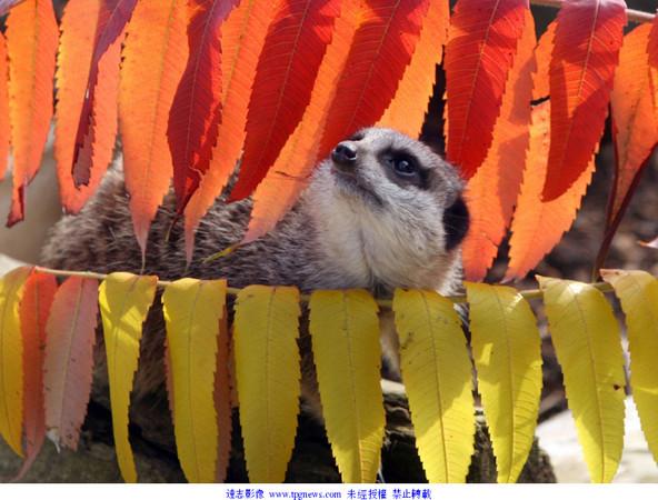 ▼秋季色彩缤纷的落叶让小动物们看起来更生动,活泼.(图/达志影像)
