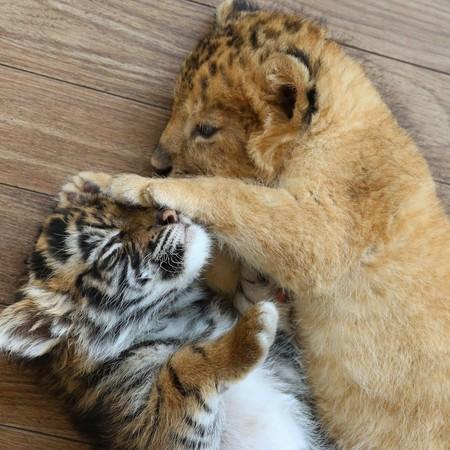 动物们的趣事,日前po出了刚出生的小狮子和小老虎依偎在一起的照片,并
