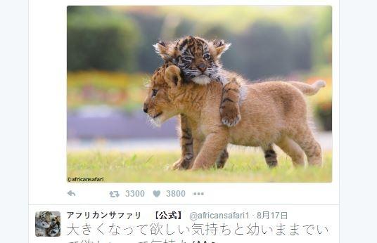 九州动物园小老虎,小狮子感情超好 每天黏tt萌翻网友啦