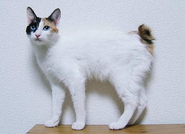 短尾猫天生尾巴就是短 至少受两种基因影响