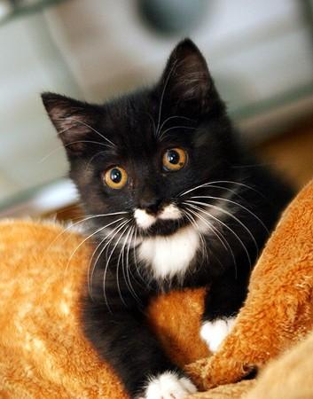 小猫也在相同位置拥有「白色小蝴蝶」,寄养家庭称之为「超萌领结嘴」