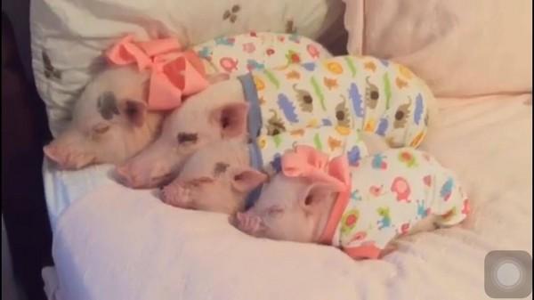 四只迷你猪从大到小排排睡,模样超可爱. (图/翻摄自