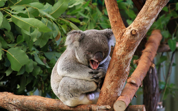 无尾熊的叫声竟然是这样!4种动物的特殊叫声