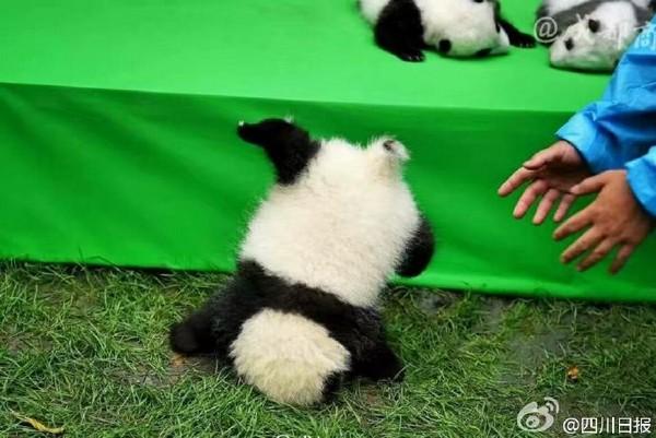 壁纸 大熊猫 动物 600_401