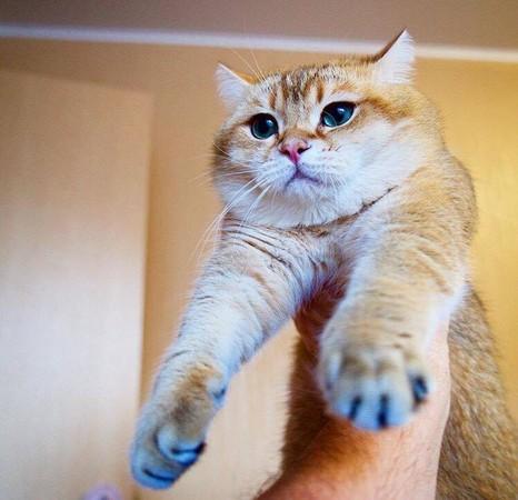 肥猫hosico可爱的模样吸引许多网友追踪.(图/翻摄自ig帐号
