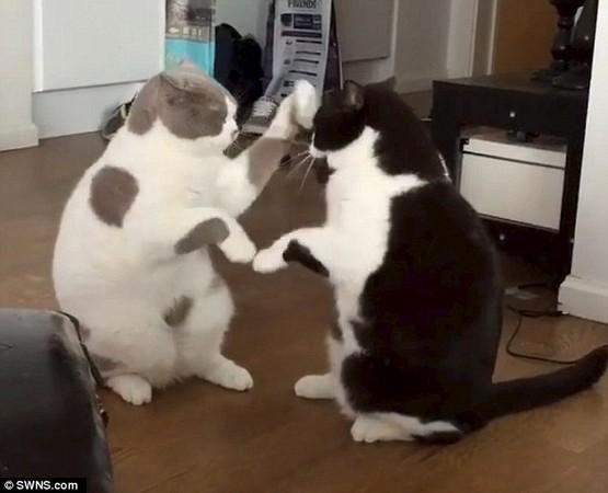 瑞典一名「猫奴」发现的他家的猫会「打拳」,於是拍下他们的可爱模样