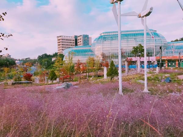 韩国很草_草()的景观植物在秋天开花,整片粉色花海搭配蓝天,洋房,成为了韩国