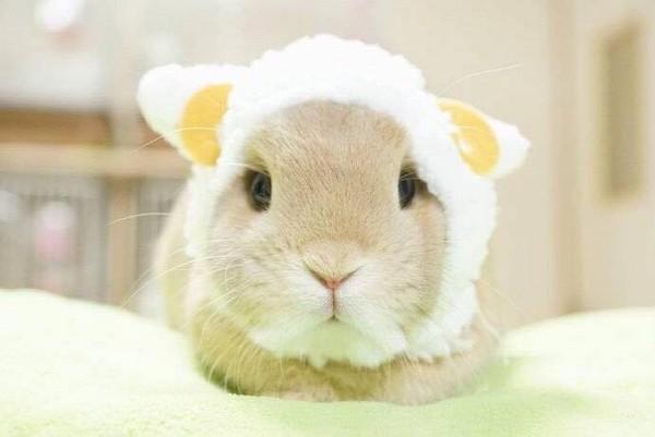 在店家分享的系列照片中,小兔子戴上了熊猫,绵羊等动物的头套,只见它