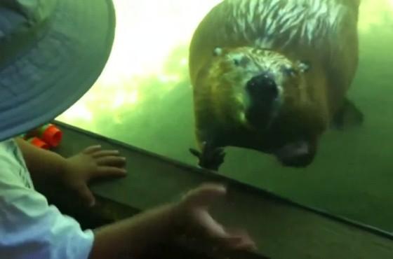 州动物园参观,虽然隔著一道玻璃墙,却意外和海狸有了近距离的接触,不