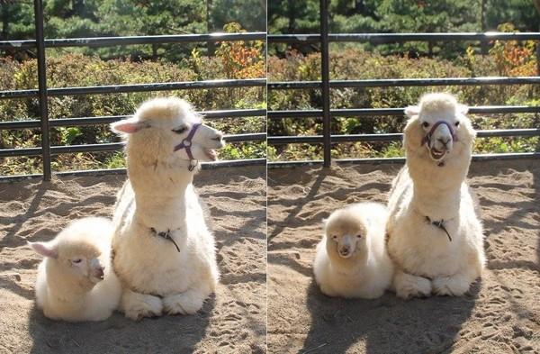 日本萌Q小羊駝最愛同步媽媽 連歪嘴笑都87分像(圖/翻攝自TWITTER:盛岡市動物公園@moriokazoo)