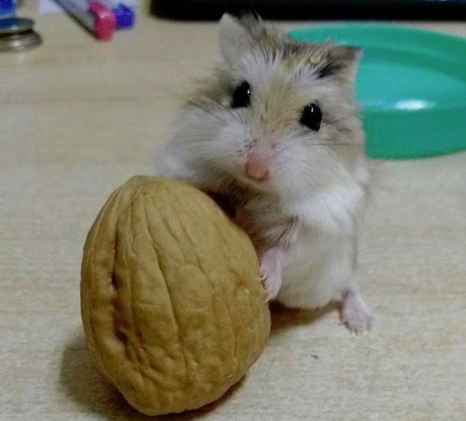 天啊~是巨大核桃欸 小仓鼠卖萌:阿爸帮我敲开啦!