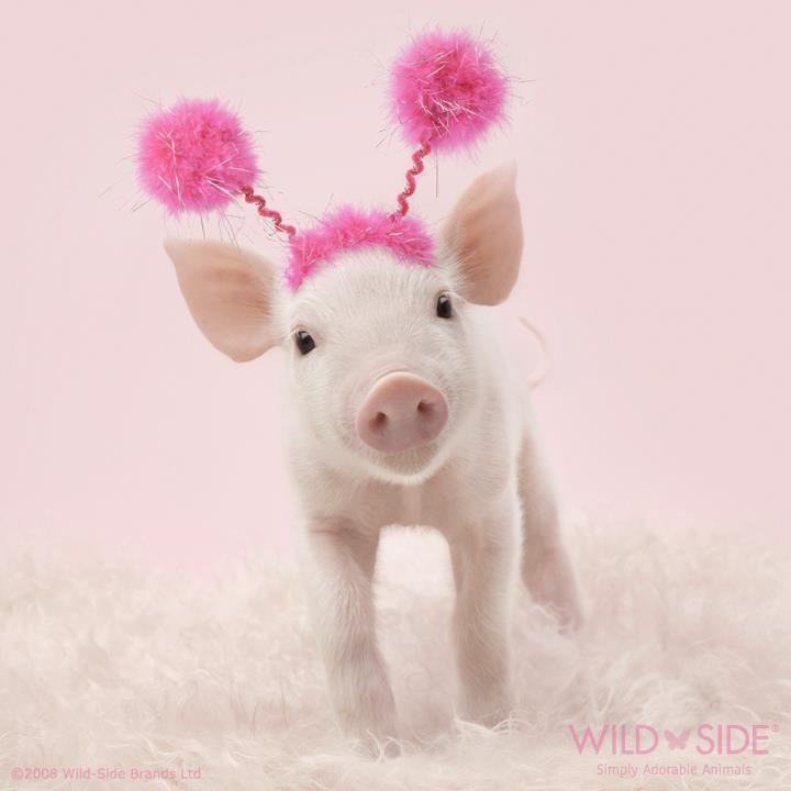 动物界的粉红教主 小猪猪的粉嫩生活