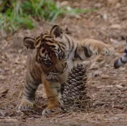 还有一些片段是小老虎瞪大眼睛,举起前脚「大战」毬果,以及小狮子偷偷