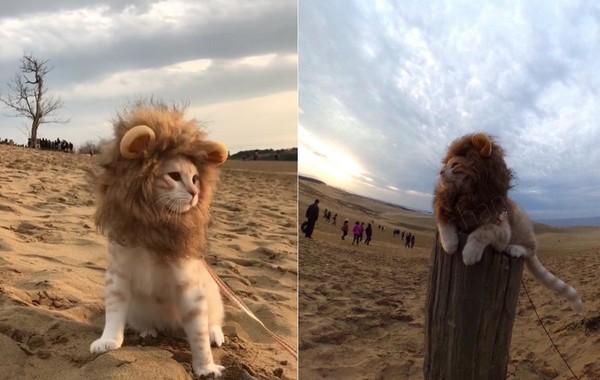 2017年01月5日 16:03  网搜小组/综合报导 有人看过这麼可爱的狮子王