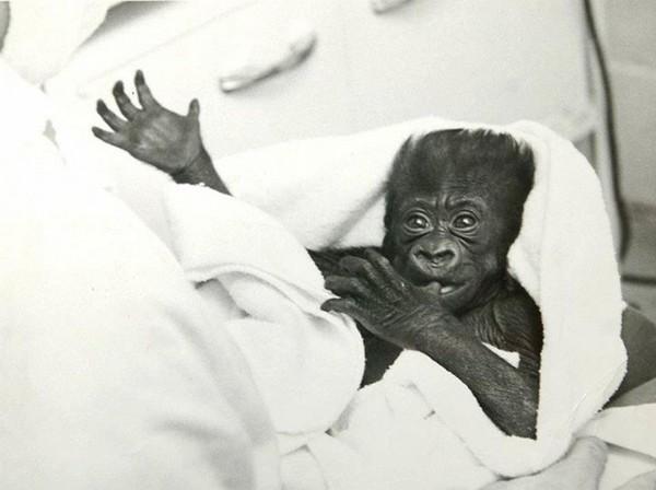 lumbus Zoo and Aquarium)-世界最老金刚猩猩可罗60岁辞世 已当曾