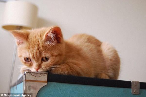 永远一副忧伤表情的猫咪「奥斯陆」,惹人疼惜.(图/翻摄自网路)图片