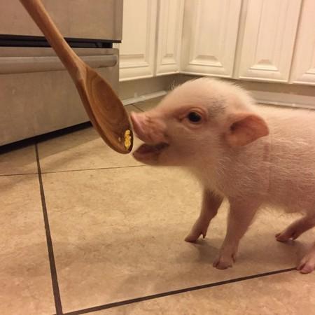 漂亮大猪图片大全可爱