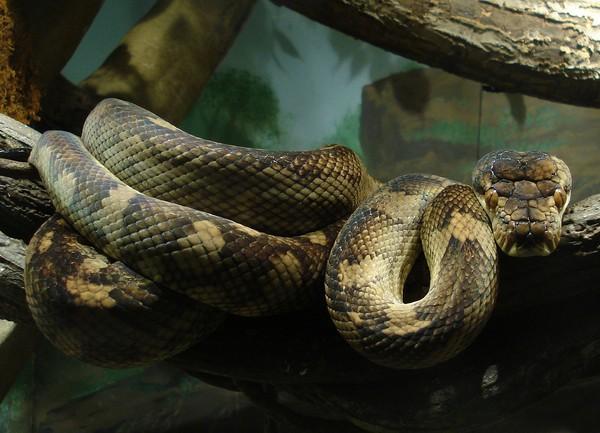 硬吞袋鼠爸比… 6公尺澳洲最大「紫晶蟒」窒息亡
